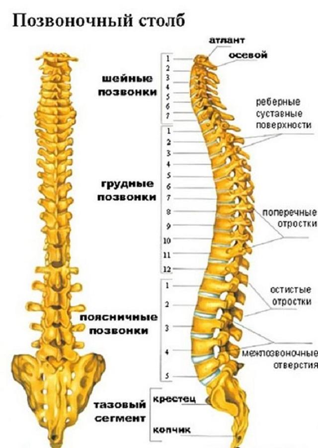 Вот как выглядит позвоночник с точки зрения анатомии