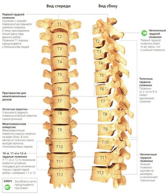 Подробная схема-изображение грудного отдела позвоночника – важнейшего отдела опорно-двигательной системы.