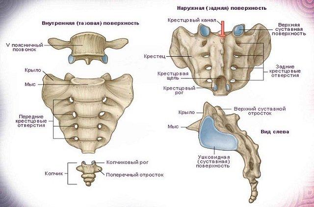 Таково анатомическое строение рудиментарной кости – копчика