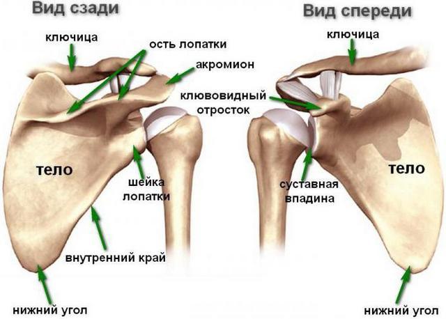 Строение лопаточной кости человека
