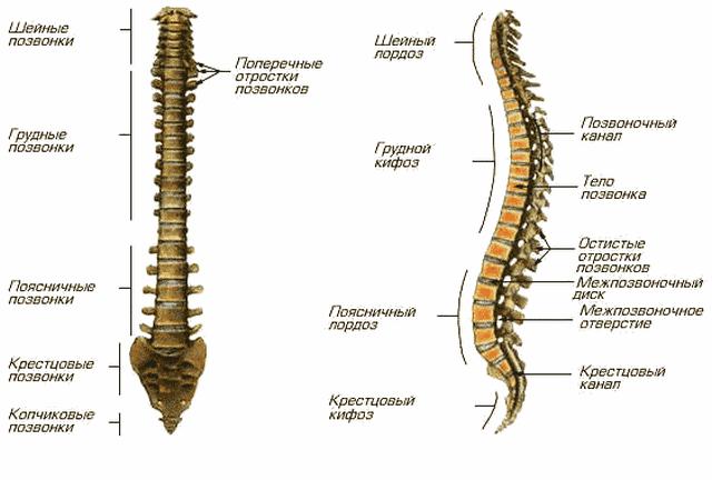 Схема строения позвоночника