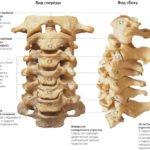 Функциональная анатомия позвоночника - Лечение Суставов