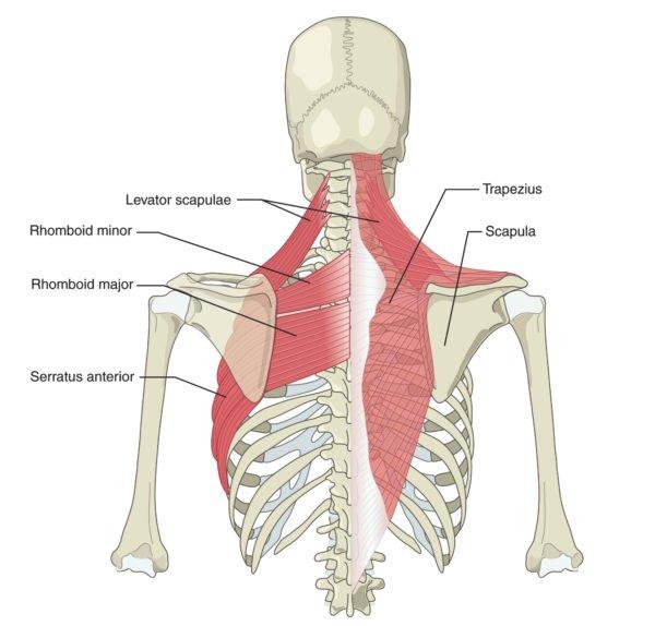 Анатомия в области лопаток, грудного отдела
