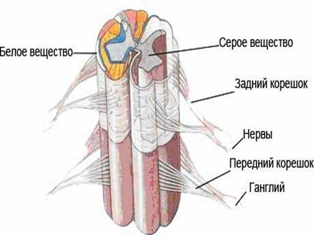 Спинной мозг – один из самых необходимых компонентов позвоночника. Без него нет никакой реакции, и не совершается никакого действия.