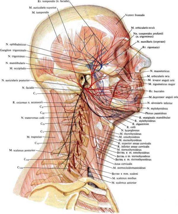Мышечные ветви шейного сплетения
