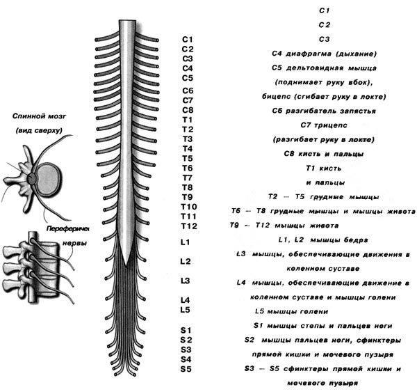 Периферические нервы и их функции