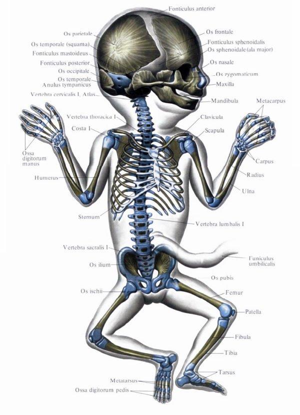 При рождении у новорожденного ребенка насчитывается порядка 270 костей, что примерно на 60 костей больше, чем у взрослого человека