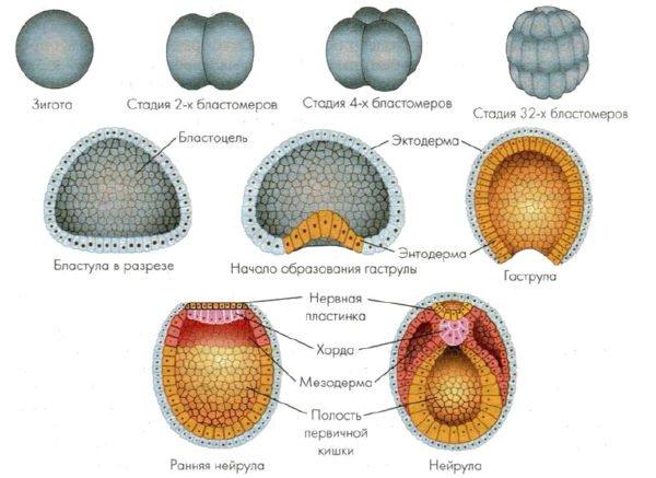 Ранний эмбриональный период позвоночника
