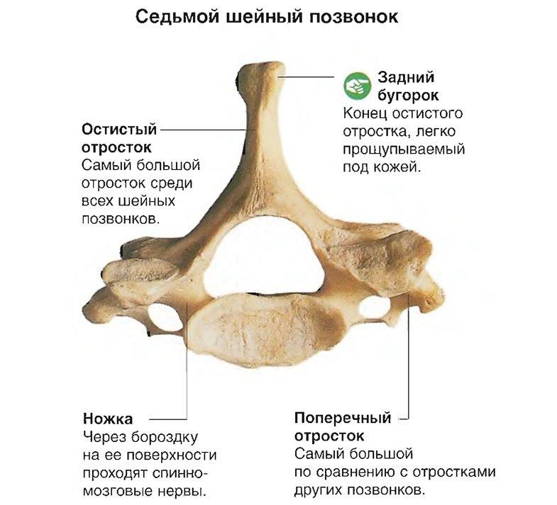 Анатомия позвоночника: фото, как выглядит шейный, грудной и другие отделы позвоночника человека