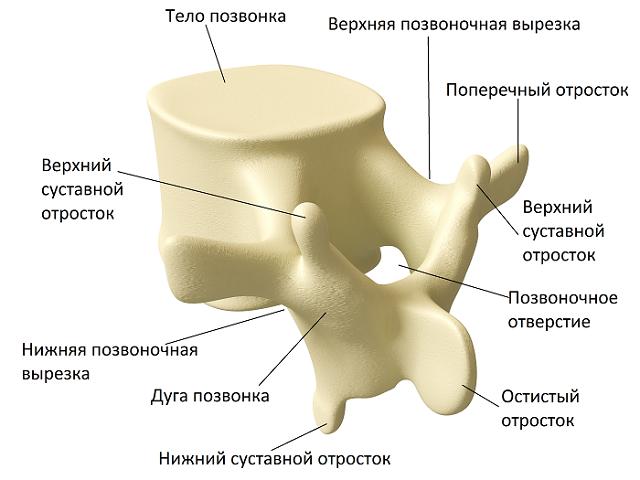 Типичное строение большинства позвонков
