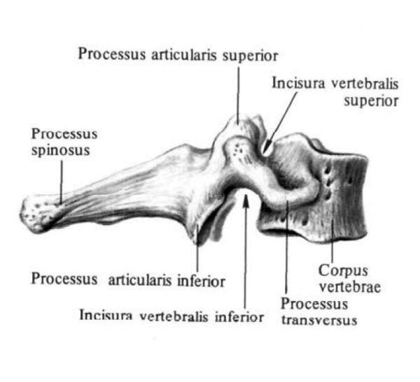 Седьмой шейный позвонок, или выступающий позвонок, vertebra prominens