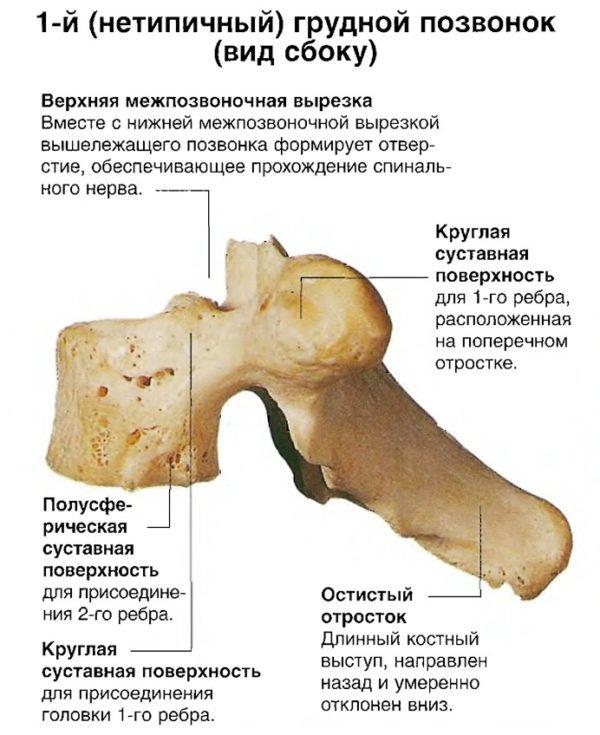 1-й (нетипичный) грудной позвонок (вид сбоку)