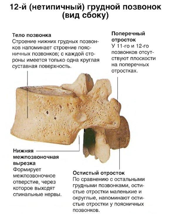 12-й (нетипичный) грудной позвонок (вид сбоку)