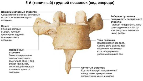 5-й (типичный) грудной позвонок (вид спереди)