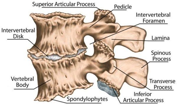 При остеохондрозе межпозвонковые отверстия сужаются, сдавливая сосуды и нервы, а по краю позвонков появляются разрастания костной ткани — остеофиты