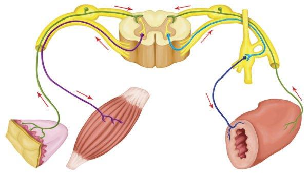 Функционирование вегетативной нервной системы построено на основе рефлекторной дуги