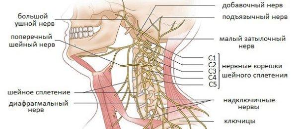 Нервное сплетение в шейном отделе позвоночника