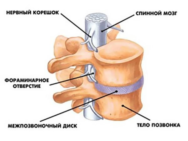 Позвонки соединяются также связками, а мышечные волокна прикрепляются к позвонкам при помощи сухожилий