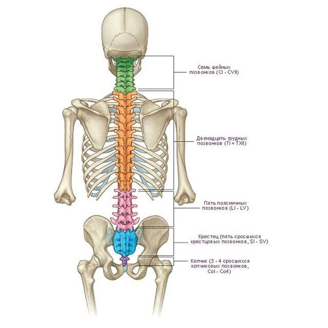 Позвоночный столб: анатомия простым языком.Анатомия позвонка человека