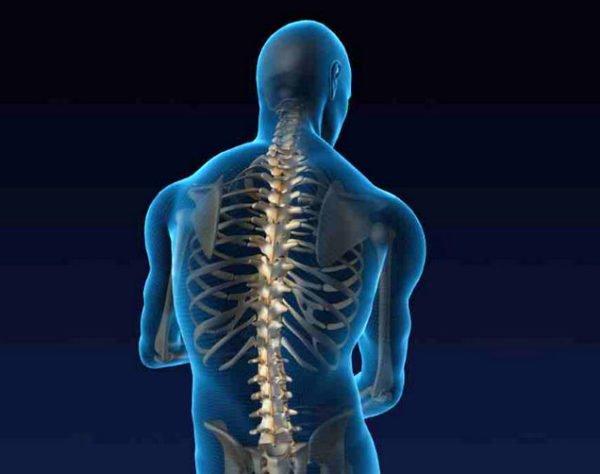 Позвоночник создает опору телу, являясь местом прикрепления мышц, принимает участие в движениях тела