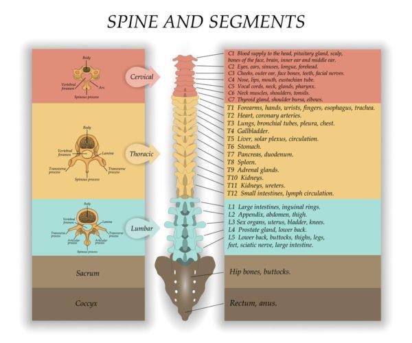 Сегментарное строение спинного мозга