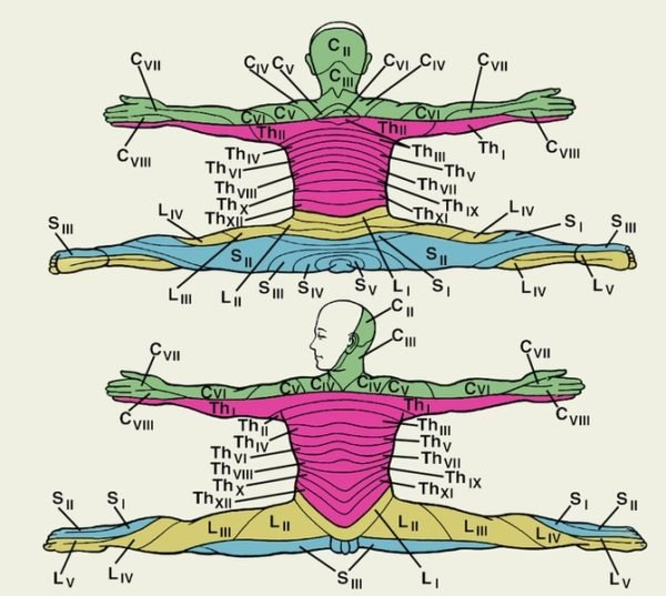 Схема сегментарной чувствительной иннервации кожи