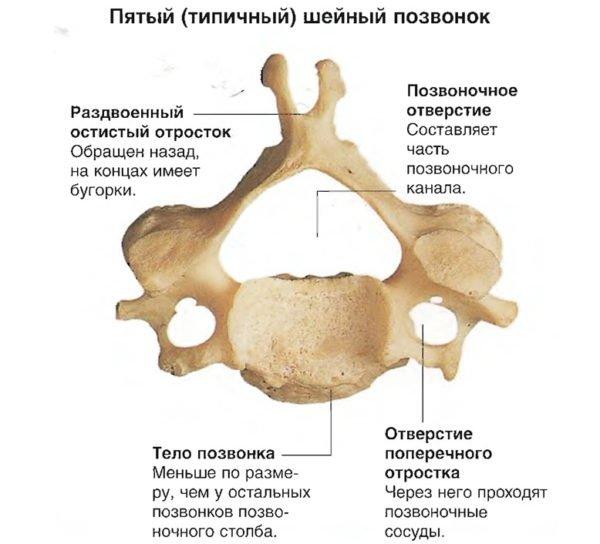 Строение шейного позвонка (пятого)