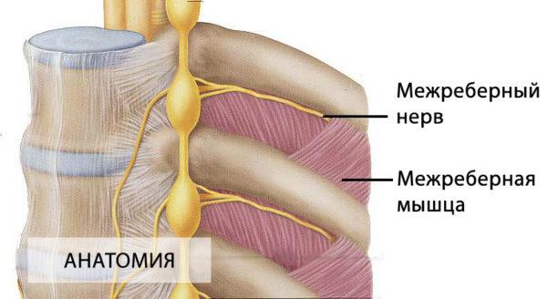 Межреберный нерв