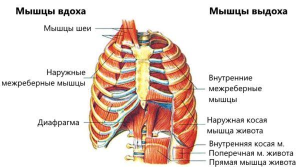 Мышцы вдоха и мышцы выдоха