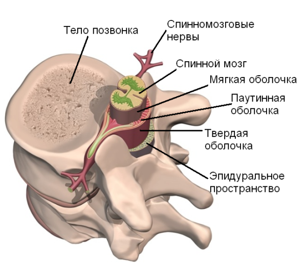 Оболочки спинного мозга