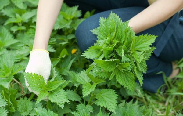 Для лечения нужно собрать молодые и крепкие стебли крапивы