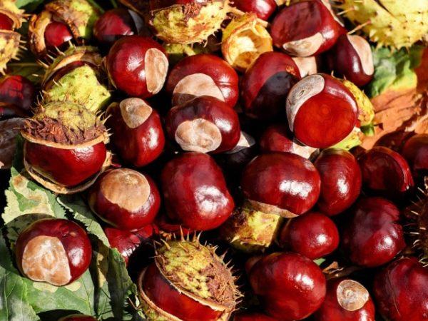 Плоды конского каштана обладают высокими целебными свойствами и широко используются в народной медицине