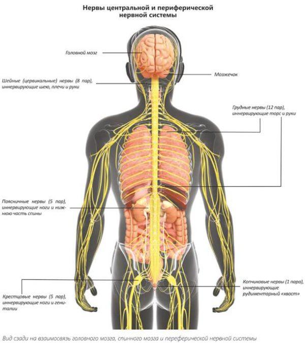 При отсутствии лечения дорсопатия вызывает поражение центральной и периферической нервной системы