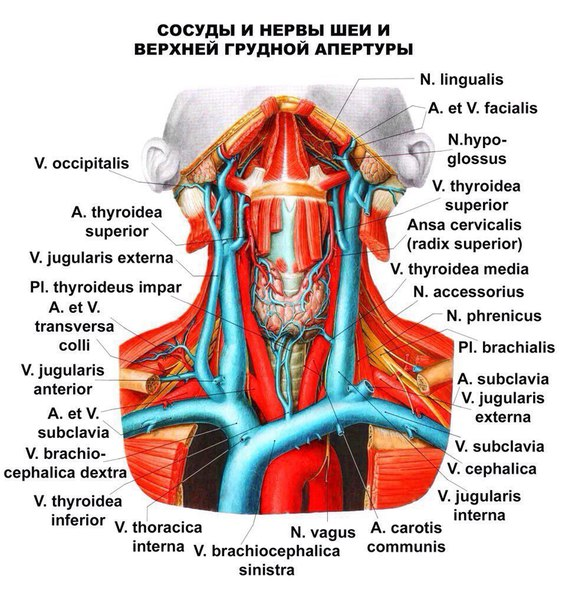 Сосуды и нервы шеи