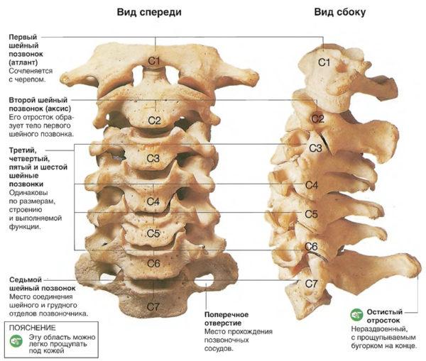 Структура шейных позвонков