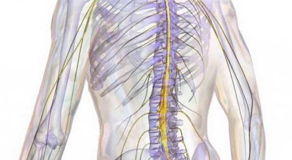 При дорсопатии поражается не только хрящевая и костная ткань, но и нервные волокна, кровеносные сосуды и спинной мозг
