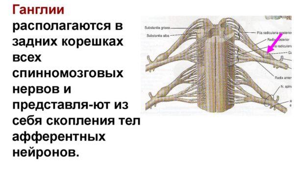 Ганглии спинномозговых нервов