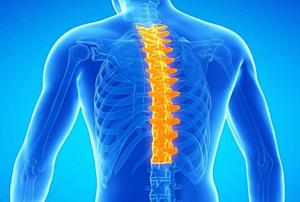 Грудной отдел позвоночника, кости ребер и грудины