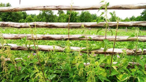 Заросли крапивы в огороде