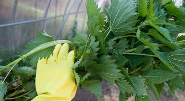 Собирать крапиву можно в резиновых или толстых тканевых перчатках