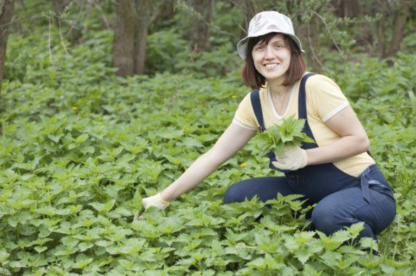 Собирают крапиву в экологически чистых районах