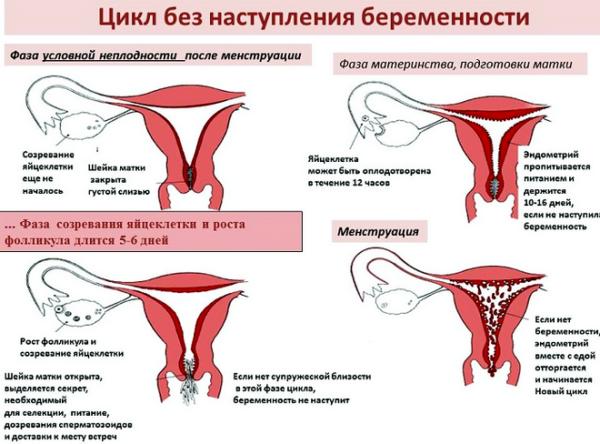 Фазы менструационного цикла