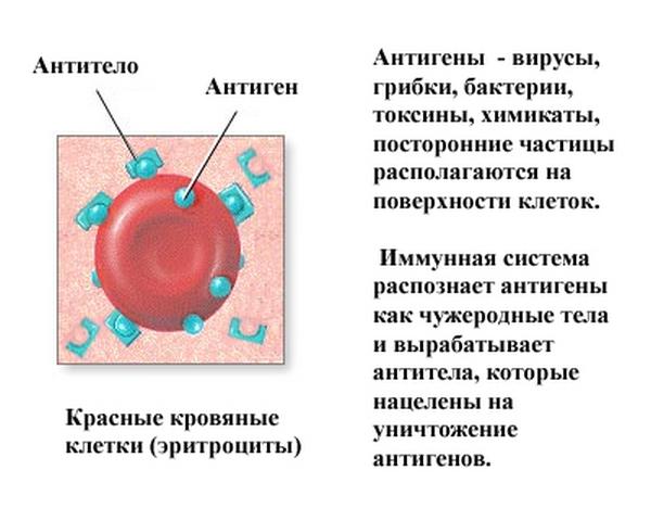 При вакцинации человеку вводят антигены возбудителя или анатоксины, чтобы организм выработал антитела