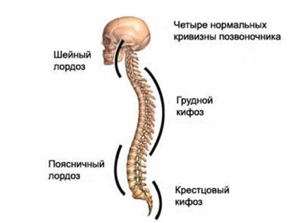 Физиологические изгибы позвоночника
