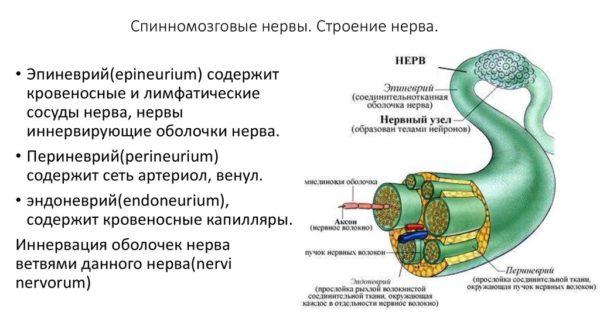 Строение нерва