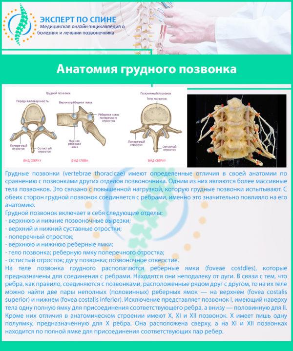 Анатомия грудного позвонка