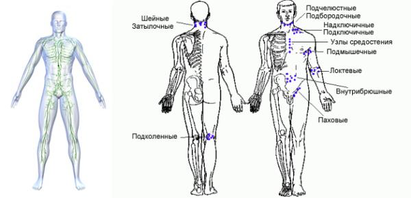 Лимфатическая система человека и расположение лимфоузлов на теле