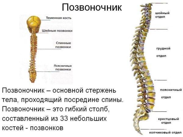 Кости позвоночного столба