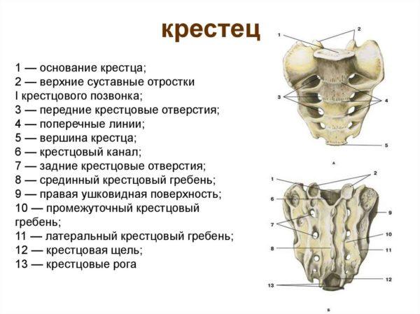 Крестцовая кость