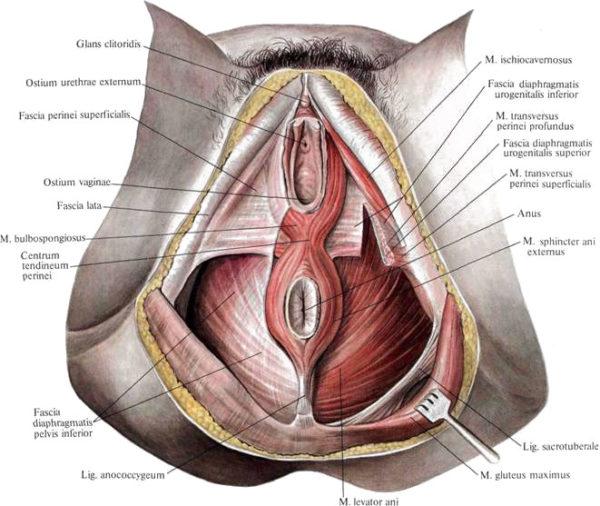Мышцы промежности женщины
